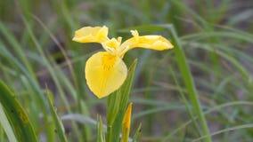 Iridi gialle dei fiori sul prato verde video d archivio