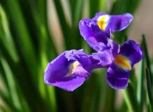 Iridi il fiore fotografie stock