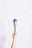 Iridi il fiore in una mano femminile contro un muro di mattoni bianco Immagini Stock Libere da Diritti