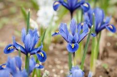 Iridi il pumila dell'iride dei fiori nell'erba alla molla Immagini Stock Libere da Diritti