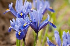 Iridi il pumila dell'iride dei fiori nell'erba alla molla Fotografia Stock