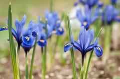 Iridi il pumila dell'iride dei fiori nell'erba alla molla Fotografie Stock Libere da Diritti