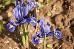 Iridi il pumila dell'iride dei fiori nell'erba alla molla Fotografia Stock Libera da Diritti