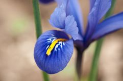 Iridi il pumila dell'iride del fiore nell'erba alla molla Fotografia Stock
