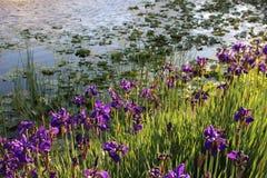 Iridi porpora su Lily Pond fotografia stock libera da diritti