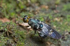 An iridiscent blue soldier fly Stock Image