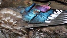Iridiscent feathers closeup Stock Photo
