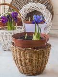 Iridodictyum de florescência e açafrões nas cestas Imagens de Stock