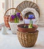 Iridodictyum de florescência e açafrões nas cestas na janela Imagens de Stock Royalty Free