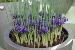 Iridodictyum Wentworth gewachsen im Blumentopf stockbild