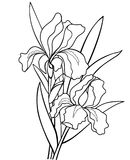 Iriers blommar med sidor Botanisk illustration Linje teckning För att färga stock illustrationer