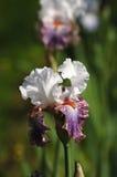 Iriers som blomstrar i en trädgård, Giardino dell& x27; Iris i Florence Arkivfoto