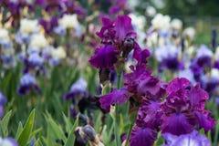 Irins blommar den blommande ängen royaltyfri bild
