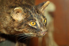 Iriomote wild cat Stock Image