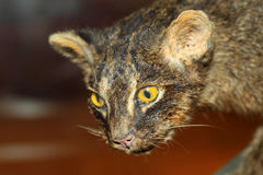 Iriomote wild cat Stock Photo