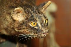 Iriomote-Wildkatze Stockbild