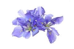 Iris à un arrière-plan blanc Images stock