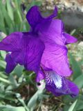 Iris - ένα λουλούδι που δημιουργείται από τη φύση, πλήρη της επιείκειας, της τρυφερότητας και της δύναμης στοκ φωτογραφίες με δικαίωμα ελεύθερης χρήσης