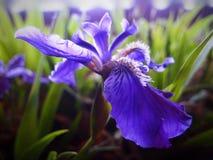 Iris 4 στοκ φωτογραφίες