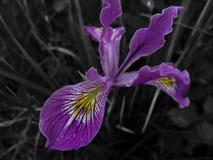 Iris σε γραπτό και το χρώμα Στοκ Φωτογραφίες