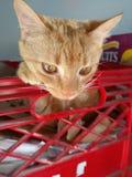 Iris котенок Стоковые Фотографии RF