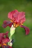 iris красный цвет Стоковые Фотографии RF