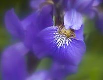 Iris мой красивый цветок весны что вы хотят Стоковое фото RF