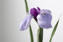 Iris Royalty Free Stock Photo