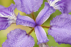 Iris. A flower in the park Royalty Free Stock Photography