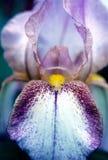 Iris Stock Afbeeldingen