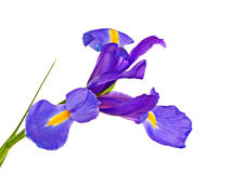Iris Royalty Free Stock Image