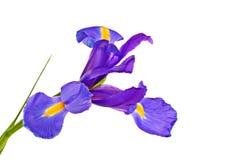 Iris. Purple iris flowers isolated on a white background Royalty Free Stock Image