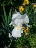 Iris imagenes de archivo