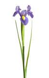 Iris Royalty-vrije Stock Fotografie