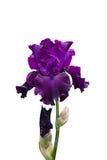 Iris. Violet iris isolated on a white background Royalty Free Stock Photos