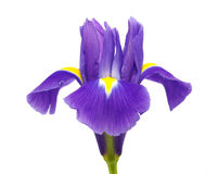 Iris Stock Photos