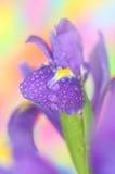 Iris. Closе up of iris flower stock photos
