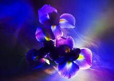 Iris Stock Photography