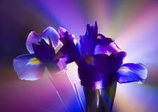 Iris Royalty Free Stock Photo