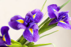 Iris Royalty Free Stock Photos
