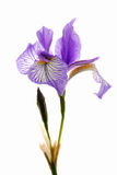 Iris Royalty Free Stock Images
