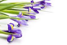 Iris Stockfotos
