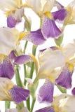 Iris Royaltyfria Bilder