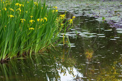 Iris. Yellow irises and water lilies in the pond of the university campus, G�teborg, Sweden Stock Images