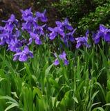 Iris Stockfoto