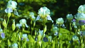 Iris Stockbilder