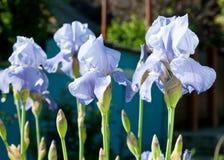 Iris Stock Afbeelding