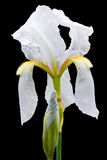 Iris. Silky iris flower isolated on black background stock image