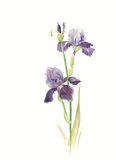 Iris. Purple iris flowers on the white background. Water color royalty free illustration