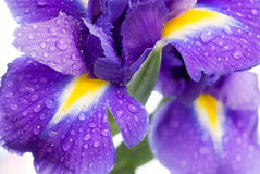 Iris Royalty Free Stock Image